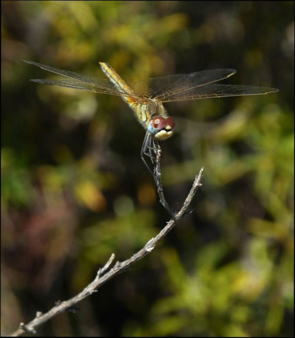 Golden Sympetrum
