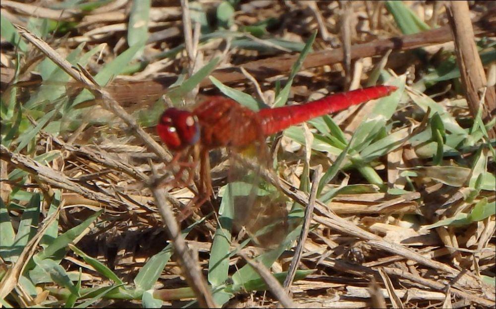 Red Damselfly