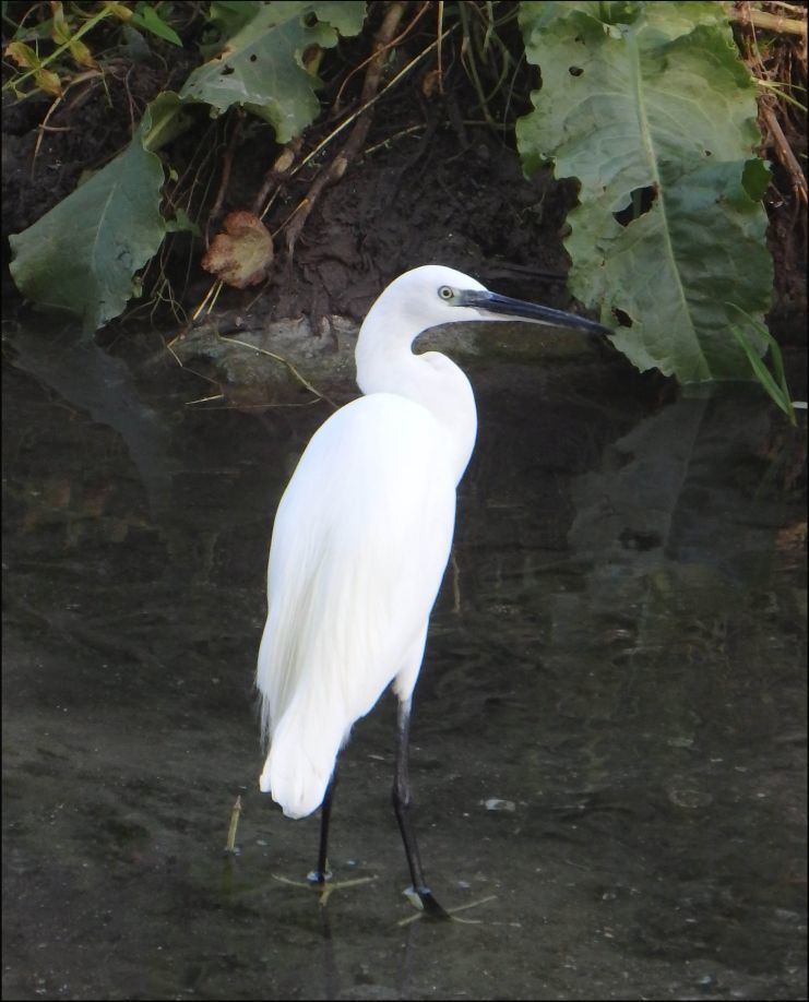 Great Egret in The Riverbank