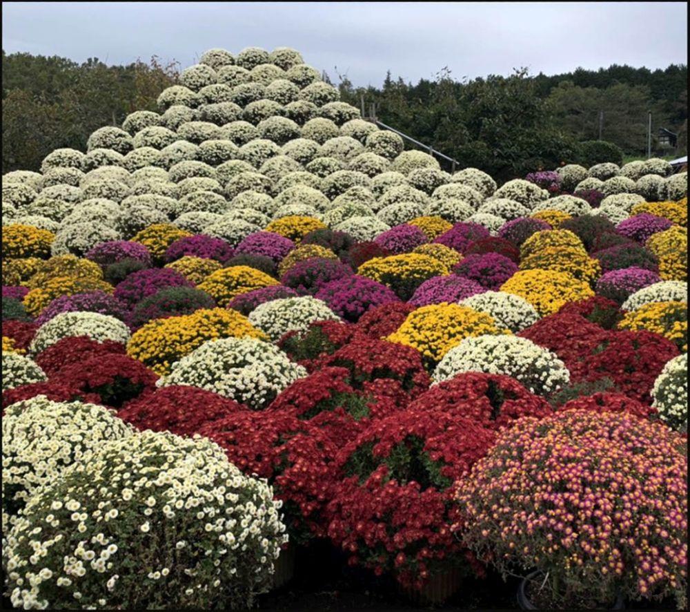 Colander Chrysanthemum Garden (Suzuki's house)