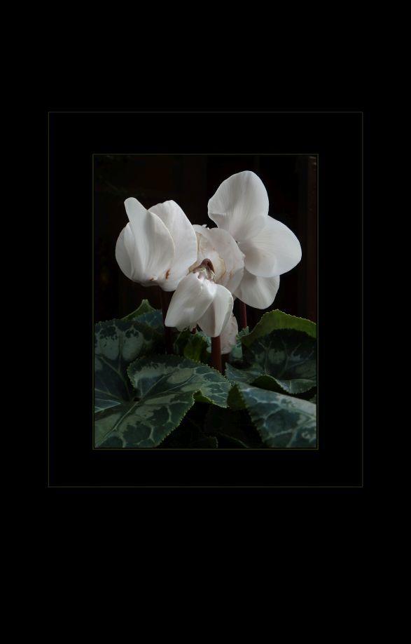 Cyclamen Persicum - White
