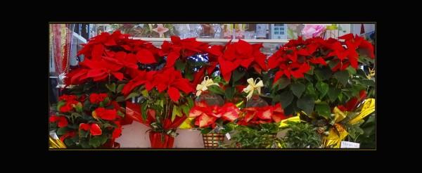 Florist's Poinsettias