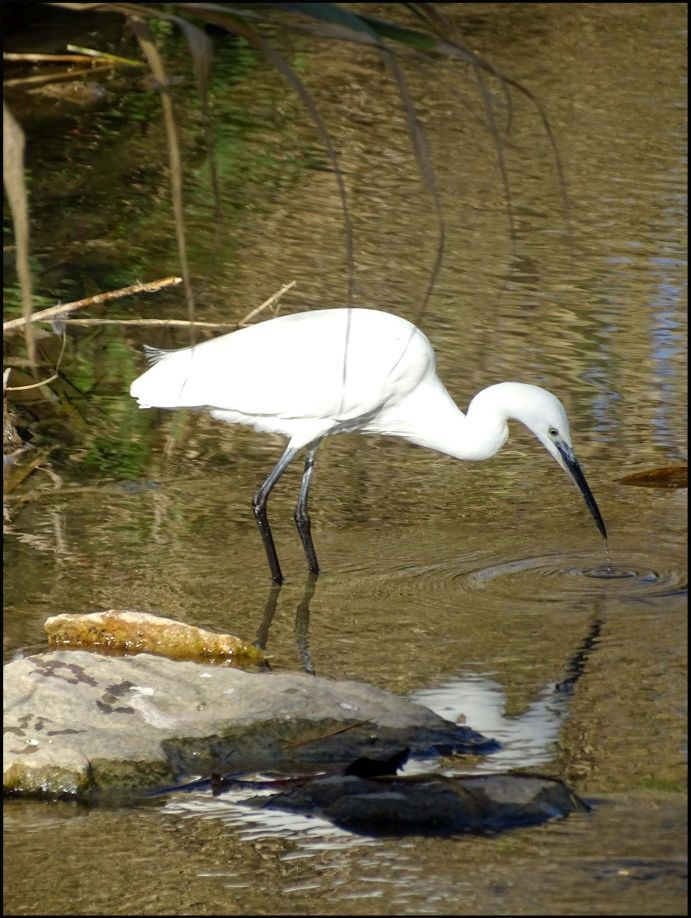 Egret in The Stream