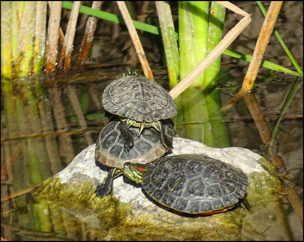 Sunbathing Red Eared Slider Turtles