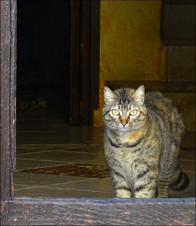House Cat at The Opened Wooden Front Door