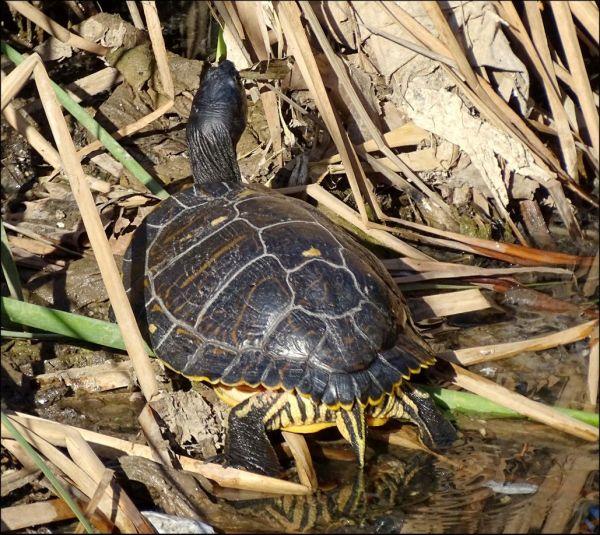 Sunbathing Yellow Tail Turtle