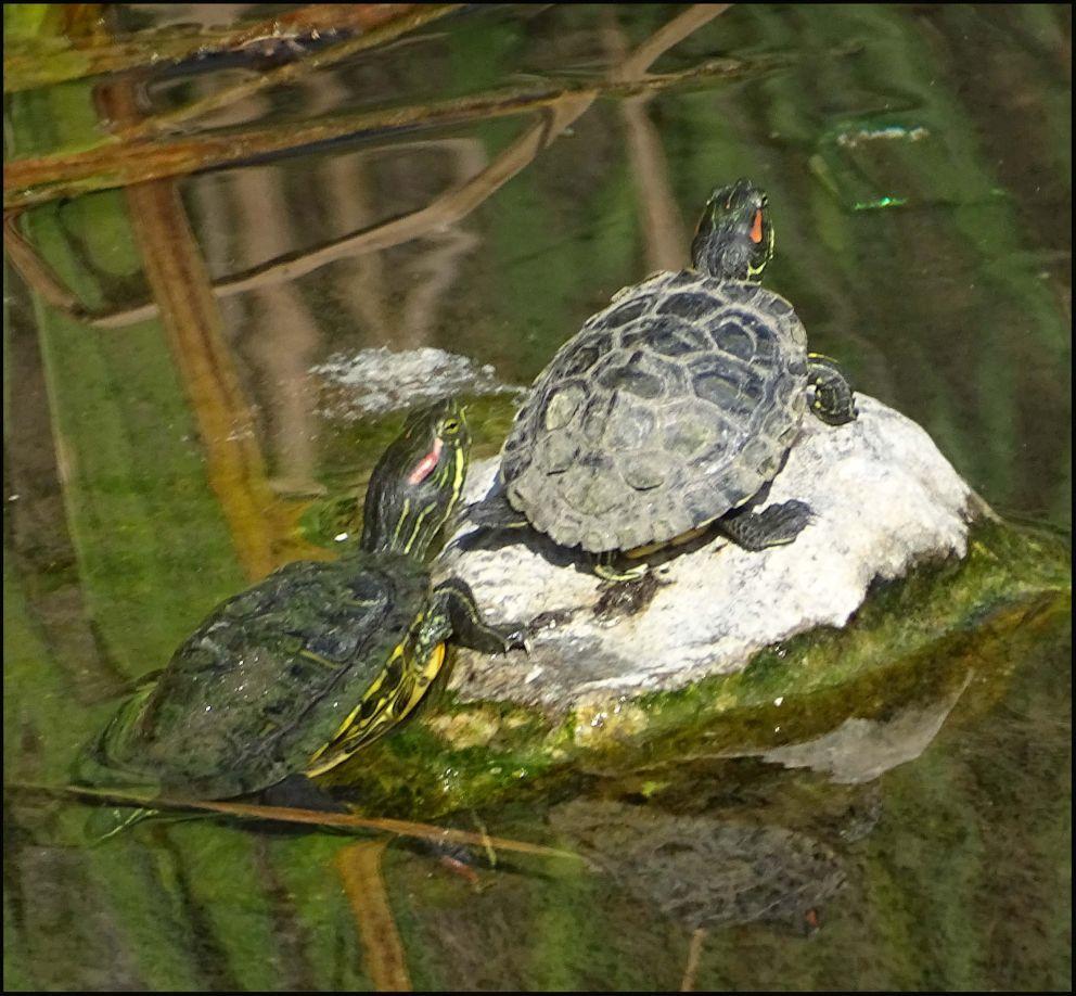Sunbathing Red Eared Slider Turtles