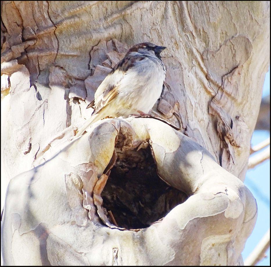 Sparrow Guarding The Nest