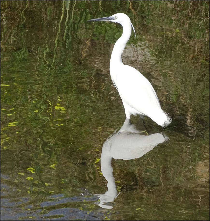 Egret Searching For Food