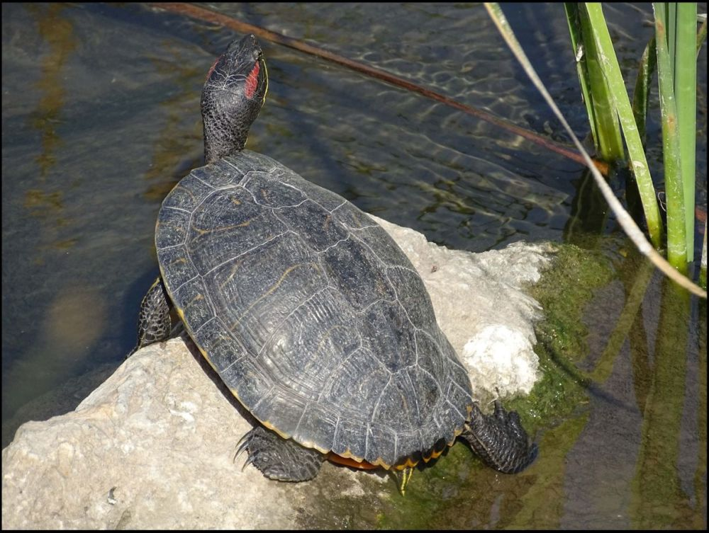 Sunbathing Red Eared Slider Turtle