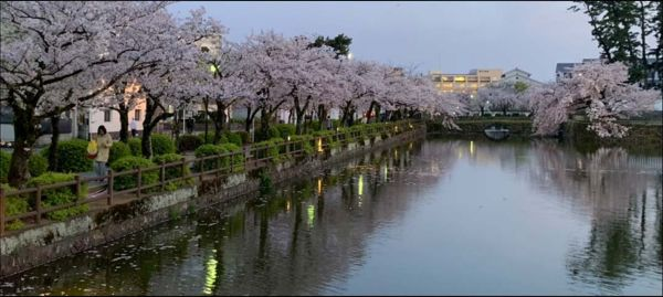 The Cherry Blossoms in Odawara Castle Moat-Dusk1