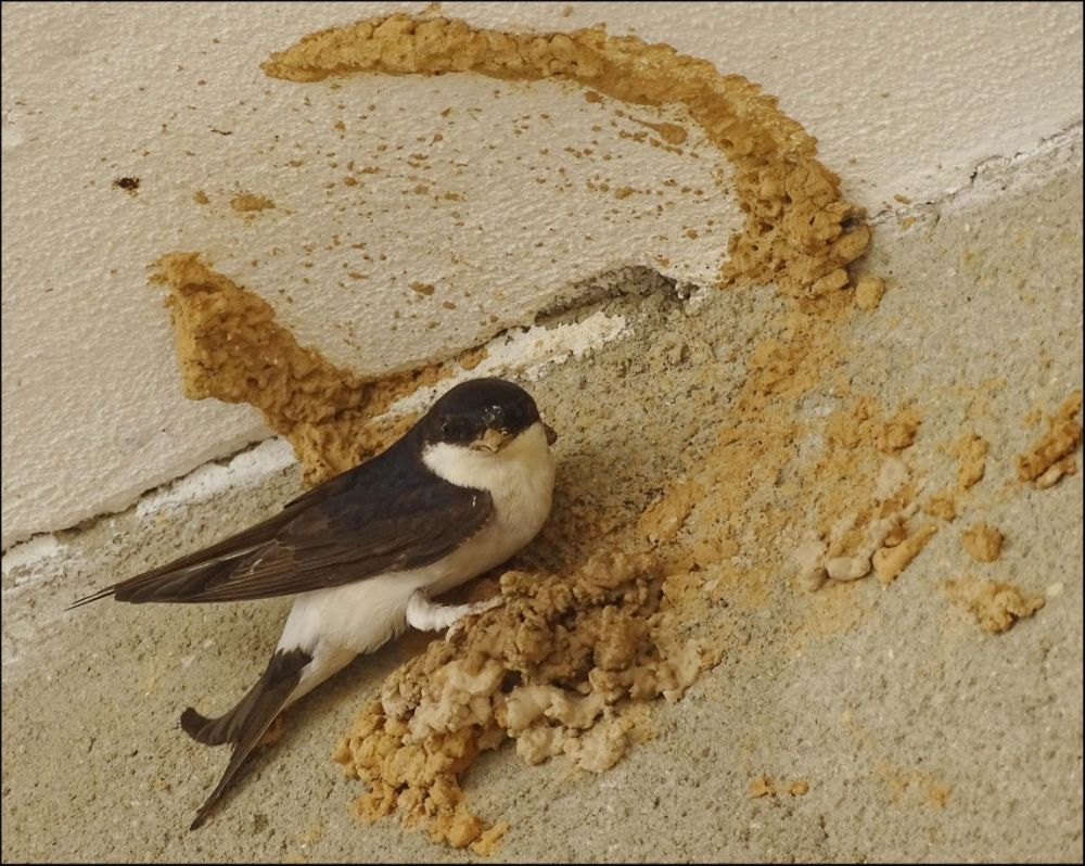 Swallow - Building New Nest -