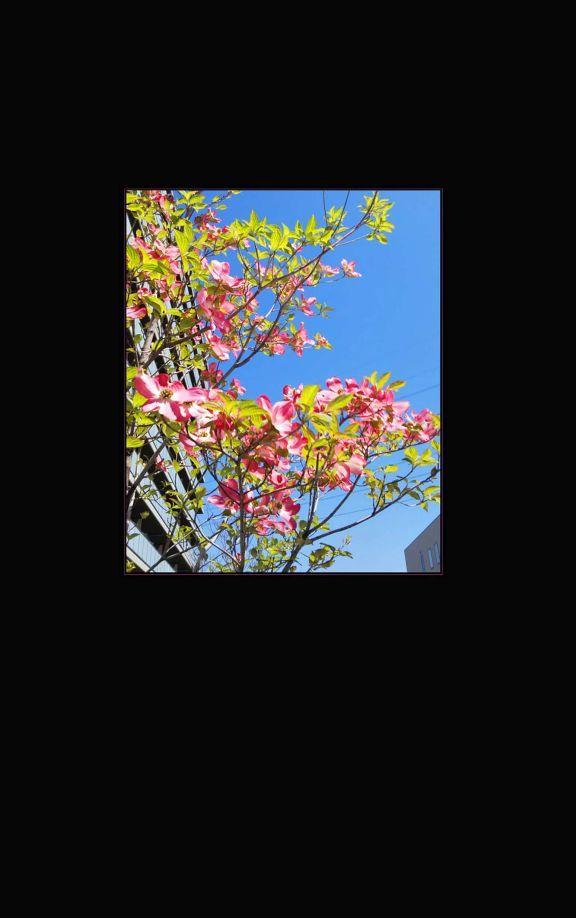 Flowering Benthamidia Florida