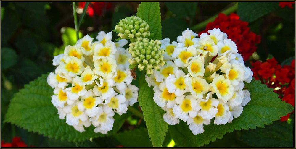 Lantana  White & Light Yellow