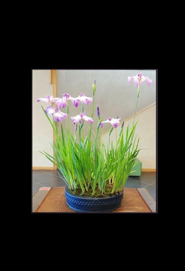 Bonsai Iris - Hana Shobu