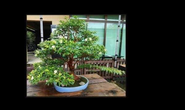 Bonsai - Hime Shara (Stewartia monadelpha)