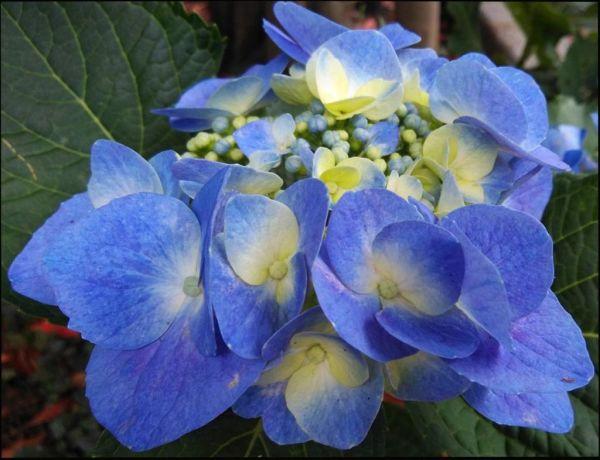 Hydrangeas Plant in Full Bloom