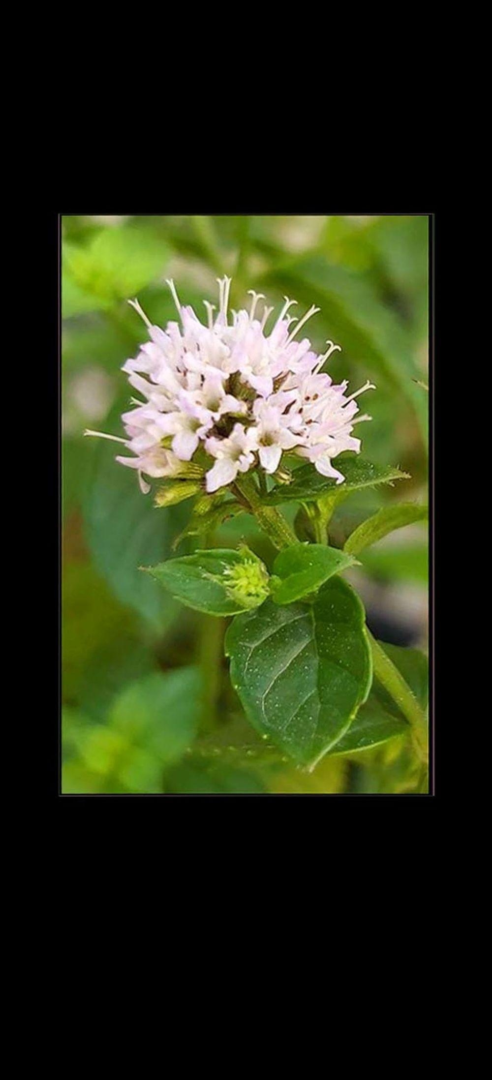 Mentha Violet Flowers
