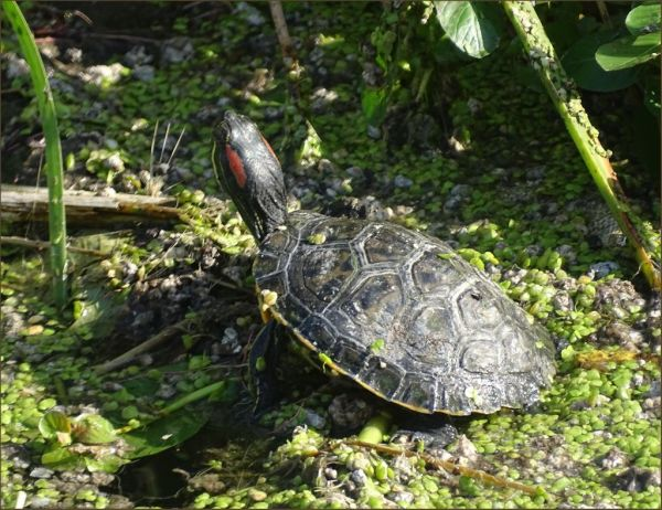 Sunbathing Red Eared Slider Turtle