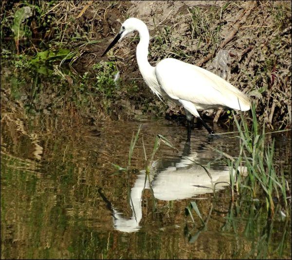 Egret in The Stream