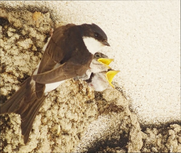 Swallow's Nest at Feeding Time