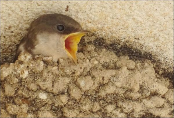 Swallow Chick  in The Nest
