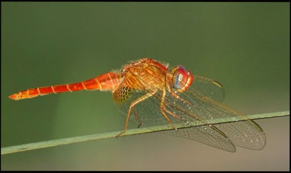 Sympetrum Sanguineum in The Paddy Fields