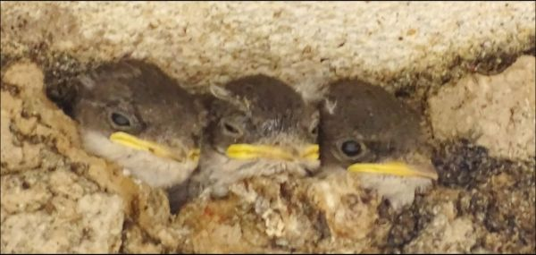 Swallow Chicks  in The Nest