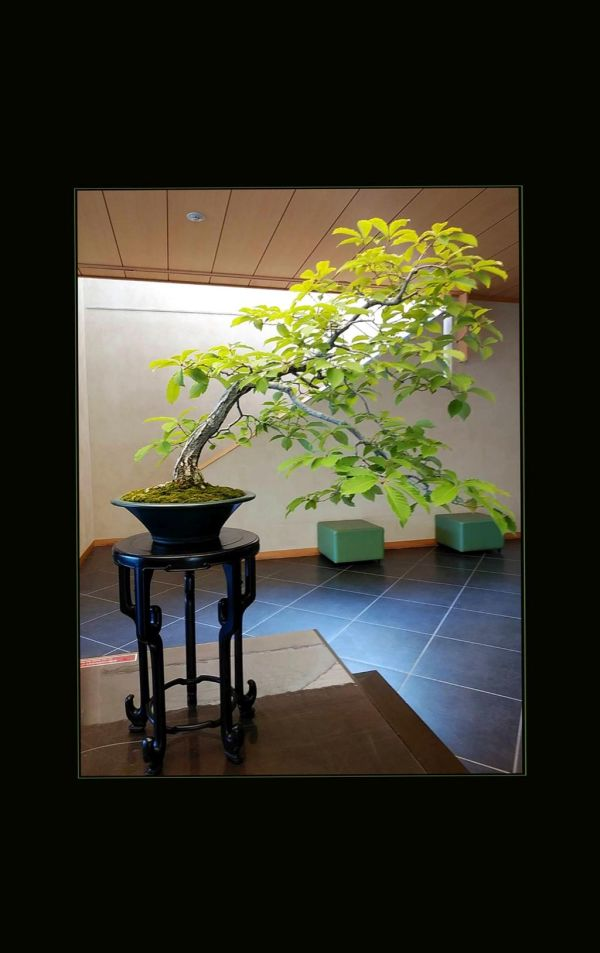 Bonsai - Konara Oak