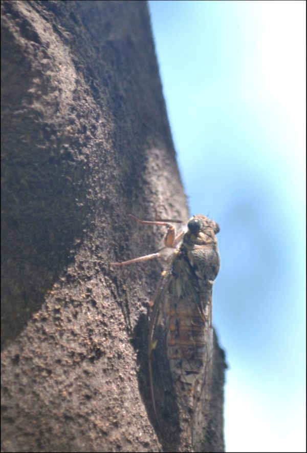 Camouflage - Cicada