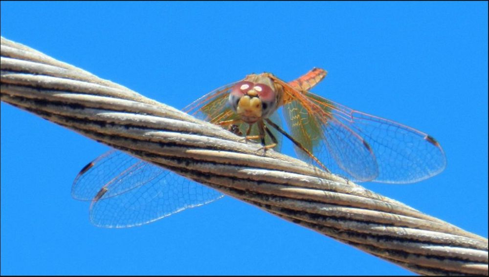Sympetrum Sanguineum on a Electric Cable