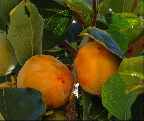 Persimmon Tree - Kaki Fruit