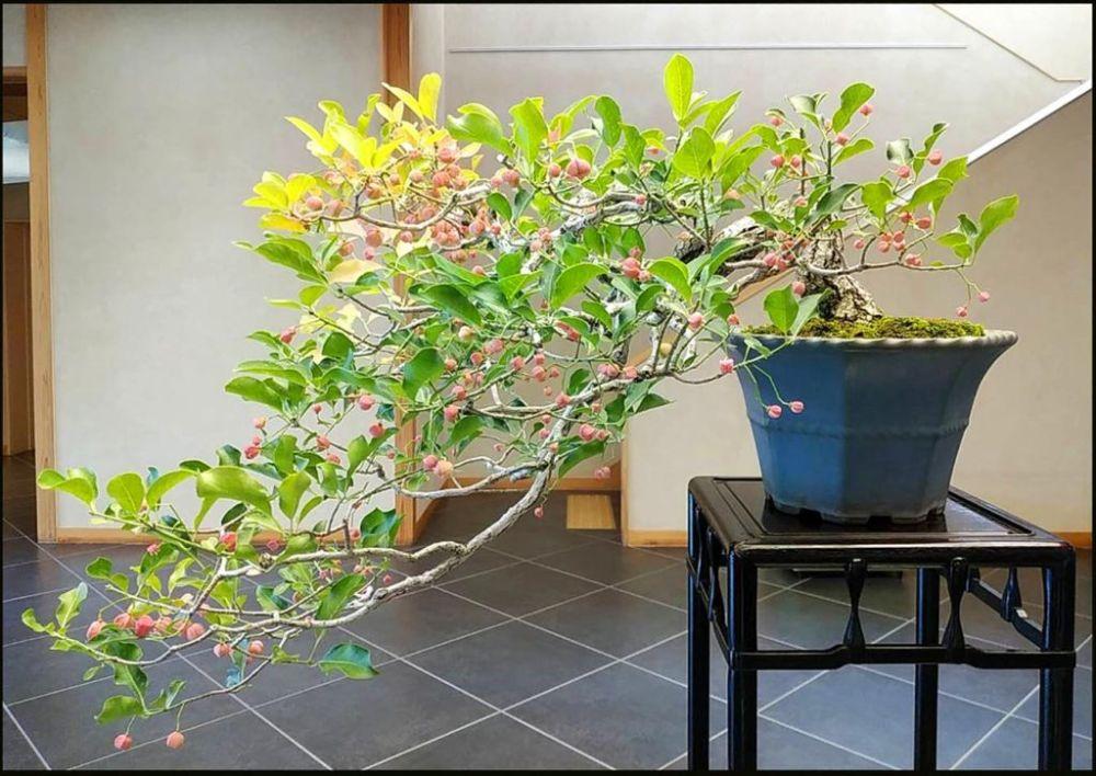 Semi-Cascade Style (Spindle tree-Bonsai Berries)