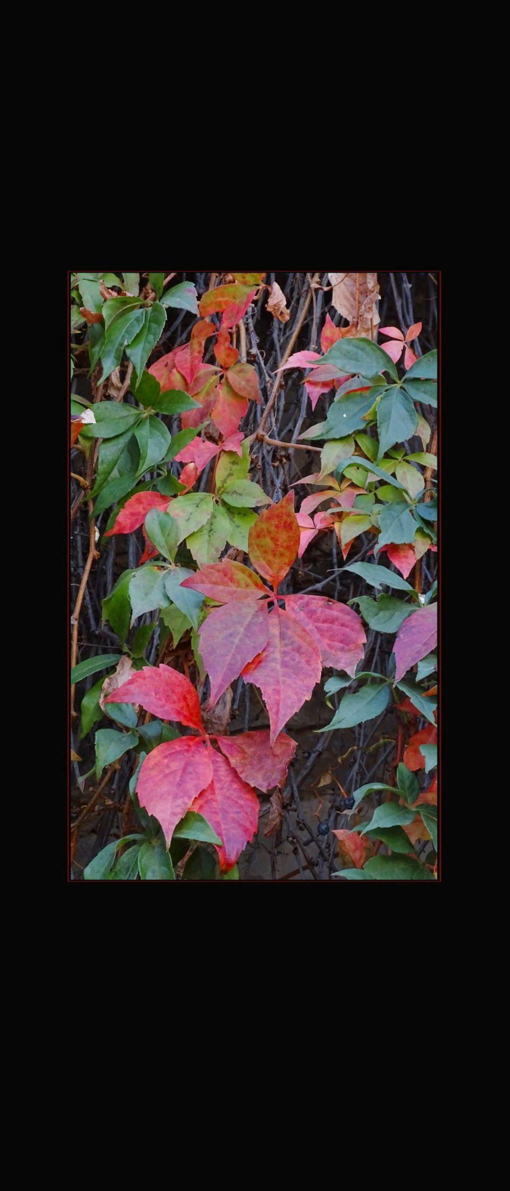 Autumn Ivy Leaves