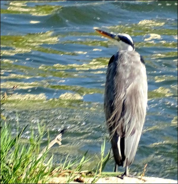 Great Blue Heron at Gandia River Bank