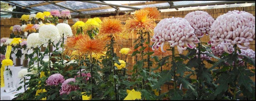 Chrysanthemum Festival at Okunitama Shrine