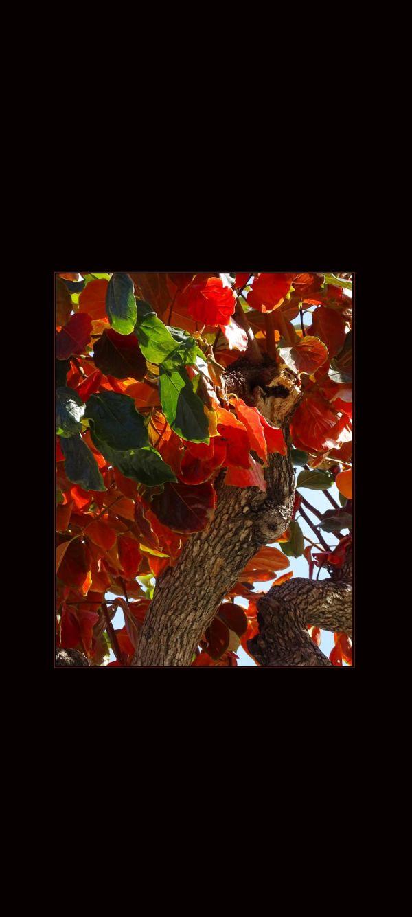 Red Leaves - Kaki Tree