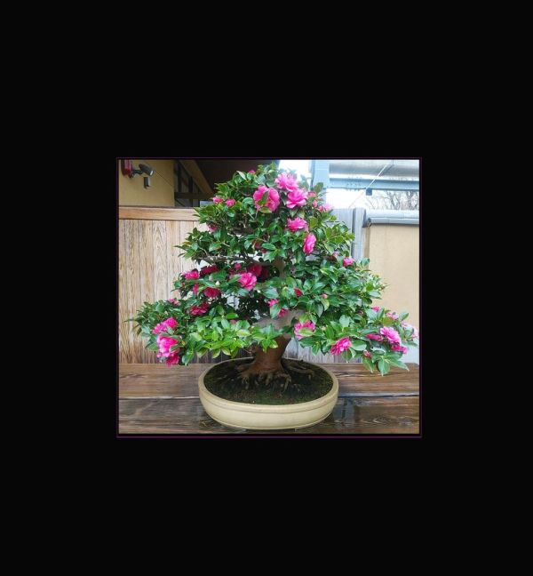 Kantsubaki - Camellia Sasanqua