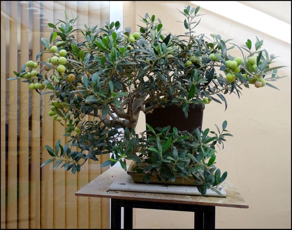 Olive Bonsai Tree
