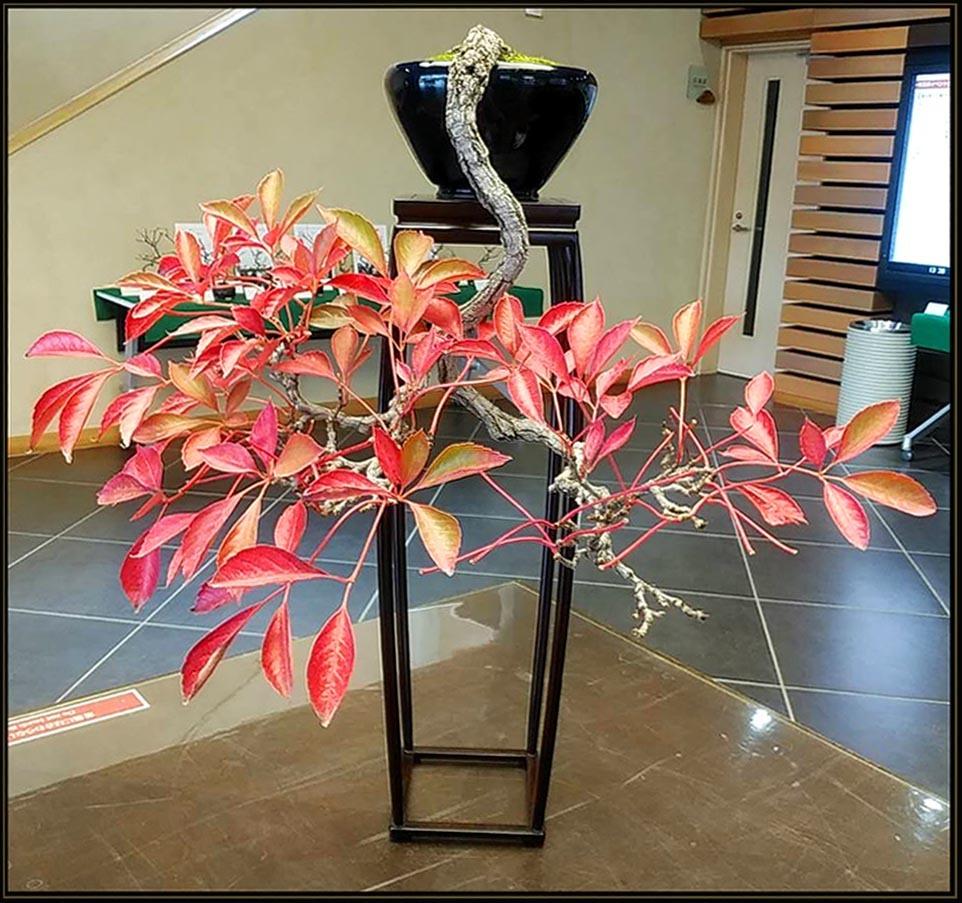 Bonsai - Parthenocissus Quinquefolia
