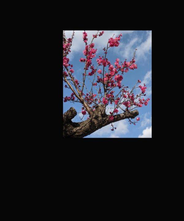 Japanese Plum Blossoms