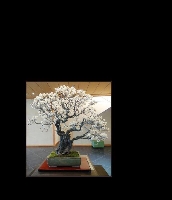 Bonsai -  Plum Blossoms