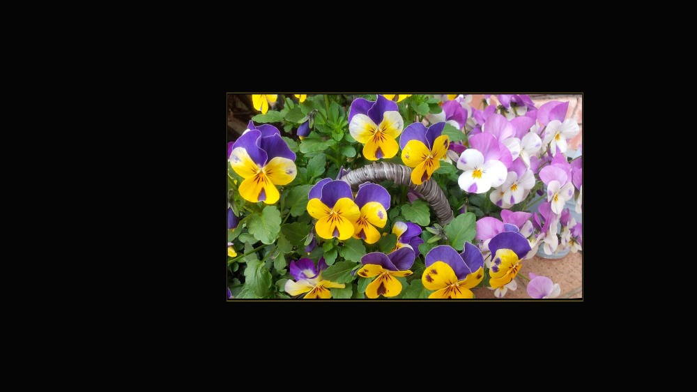 Viola in a Garden Basket