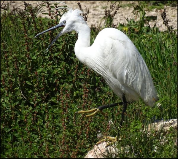 White Egre at The RiverBank