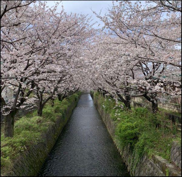 Cherry Blossoms in Full Bloom (Japan)