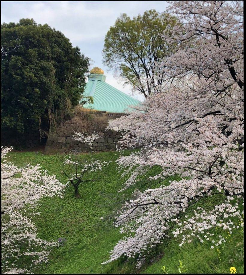 Cherry Blossom Spots Around Nippon Budokan