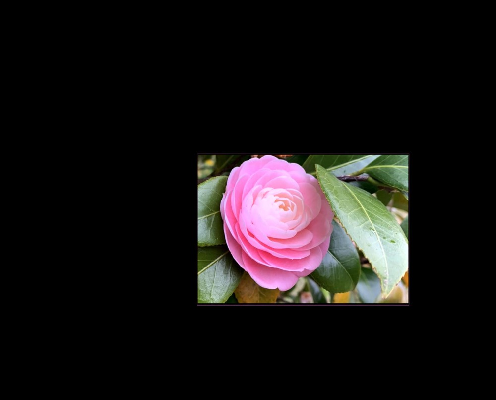 Pink Tsubaki Camellia