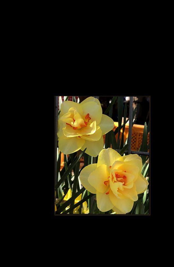 Daffodils at Broom