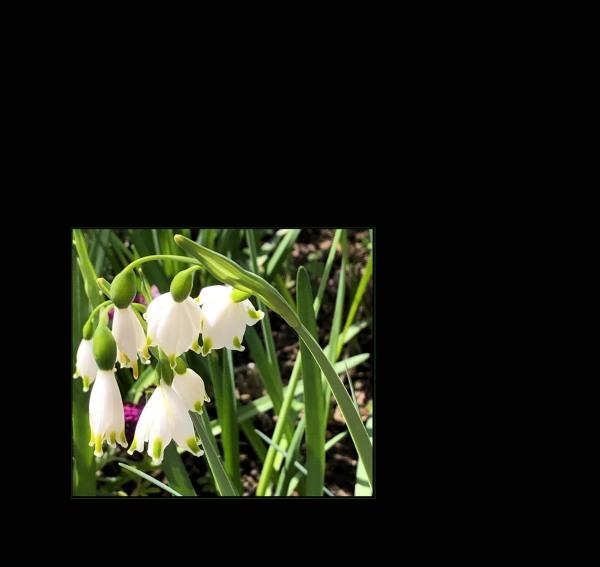 Suzuran Narcissus Snowflake