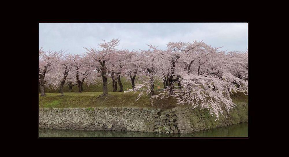 Cherry Blossoms in Goryokaku Park ( Hakodate )